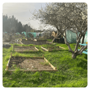 A picture of Ali's allotment showing a damson tree and different raised vegetable beds